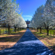 Pear Trees in Bloom — Stock Photo