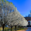 Stock Photo: Pear Trees in Bloom