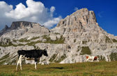 Cow in the Dolomites Mountains — Stok fotoğraf