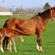 Mare with suckling colt — Stock Photo #8515015