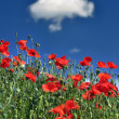 Field with corn-poppy in front of blue sky — Stock Photo