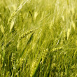 Wheat field detail — Stock Photo