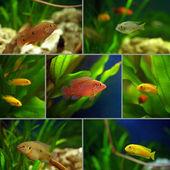 Collage: cichlid aquarium fish in the aquarium — Stock Photo