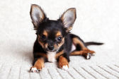 Chihuahua — Stock Photo