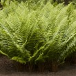 Ferns in garden — Stock Photo #10633831