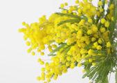 Mimosa Flower — Stock Photo