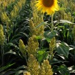 Stock Photo: Millet and sunflower
