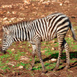 Child of Zebra — Stock Photo