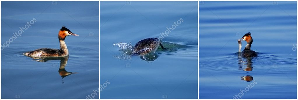 Collage of great Crested Grebe eating a fish — Stock Photo #9027225