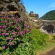 Pink flowers at the coastline — Stock Photo