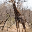 Giraffe walking through an African landscape — Stock Photo