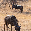 Wildebeest grazing grass — Stock Photo