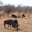 Group of wildebeest grazing — Stock Photo