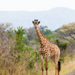 Giraffe standing near the road — Stock Photo