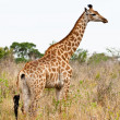 Giraffe standing in an African landscape — Stock Photo
