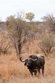 Buffalo standing in dry grassland — Stock Photo