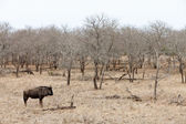 Wildebeest in a grey landscape — Stock Photo