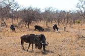Group of wildebeest grazing — Stock Photo