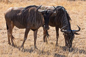 Two wildebeest in closeup — Stock Photo