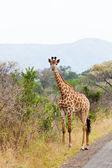 Giraffe standing near the road — Stock Photo