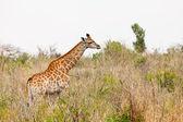 Giraffe standing in an African landscape — Stock Photo