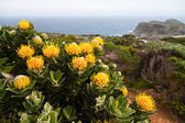 Protea flowers growing on the rocks — Stock Photo