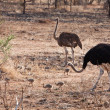 Ostrich birds with youngsters — Stock Photo