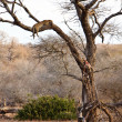African leopard sleeping in a tree — Stock Photo