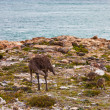 Ostrich with youngsters walking near sea — Stock Photo #8406061