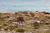 Ostrich with youngsters walking near the sea — Stock Photo