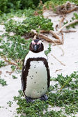 Black-footed african penguin in close up — Stock Photo