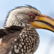 Hornbill bird in South Africisolated on blue sky — Stock Photo #9056410