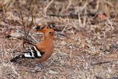 Chmiel ptak stojący na ziemi — Zdjęcie stockowe