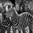 Two zebra animal in close up — Stock Photo