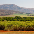 Cane sugar field in a valley — Stock Photo