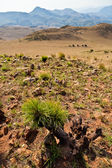 Plant in a dry mountain landscape — Stock Photo