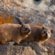 Pair of hyrax animals sitting on a rock — Stock Photo