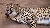 Cheeta animal licking her foot — Stock Photo