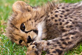 Young leopard baby — Stock Photo