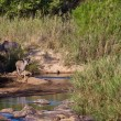 Kudu animals near a river bed — Stock Photo