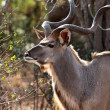Nyala antelope in the bushes — Stock Photo