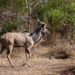 Nyala and Grant's antelope walking in the bushes - Stock Photo