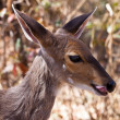 Closeup of Grants gazelle - Stock Photo