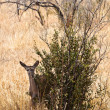 Grants gazelle standing near a bush - Stock Photo