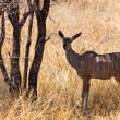 Grants gazelle standing in long grass - Stock Photo
