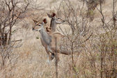 Kudu animal couple standing between the bushes — Stock Photo