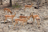 Grants gazelles in close up — Stock Photo