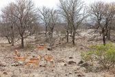Grants gazelles in the bushes — Stock Photo