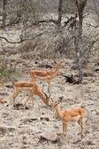 Grants gazelles — Stock Photo