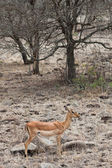 Grants gazelle standing in a dry landscape — Stock Photo